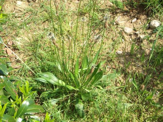 Plantain plante
